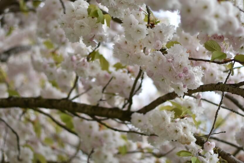 Blütenbaum